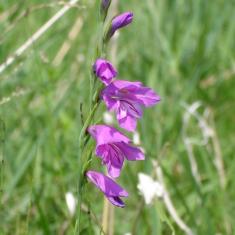[:lv] Jumstiņu gladiola [:en]Gladiolus imbricatus[:lt]Paprastasis kardelis (Gladiolus imbricatus)[:ee] Niidu-kuremõõk (Gladiolus imbricatus)