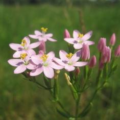 Centaurium erythraea - sketine sirdazole