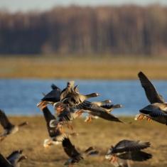 Pauksciu migracija-Nemuno-deltoje-zymantas-morkvenas copy